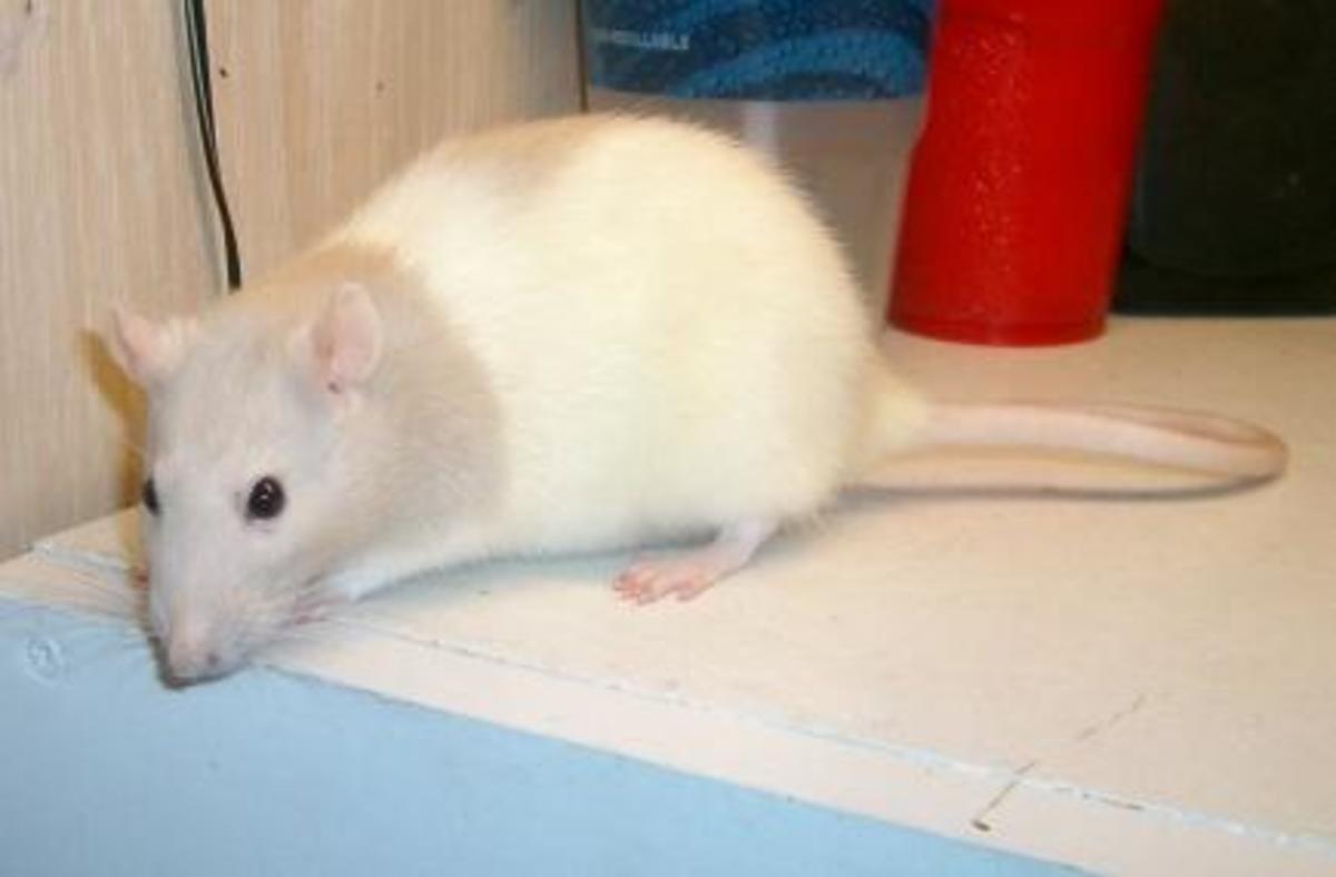Sickle my fancy  rat R.I.P.