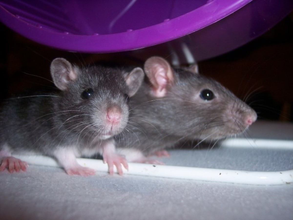 keeping_pet_rats