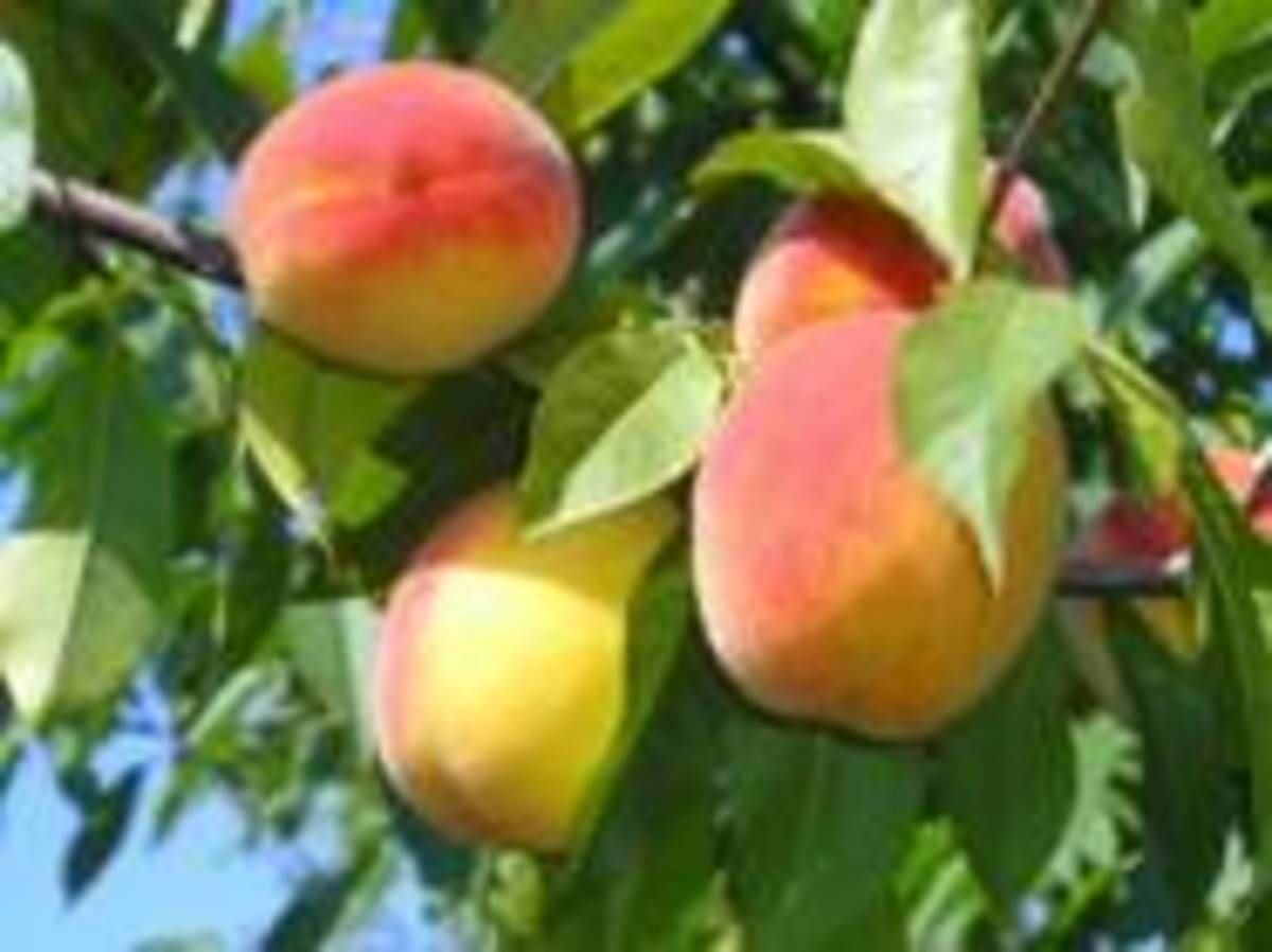 Fruit trees bring good harmony to your garden