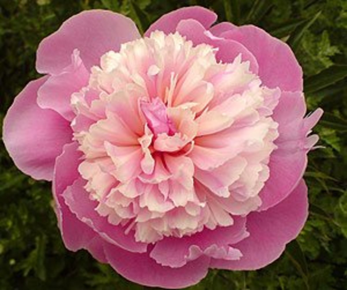Peony - the symbol of good luck