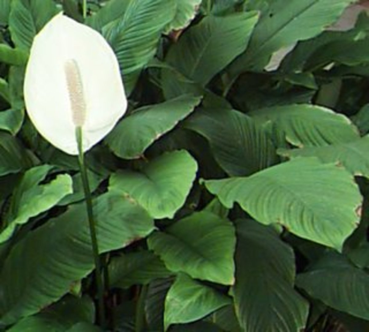 Philodendron - lucky plant