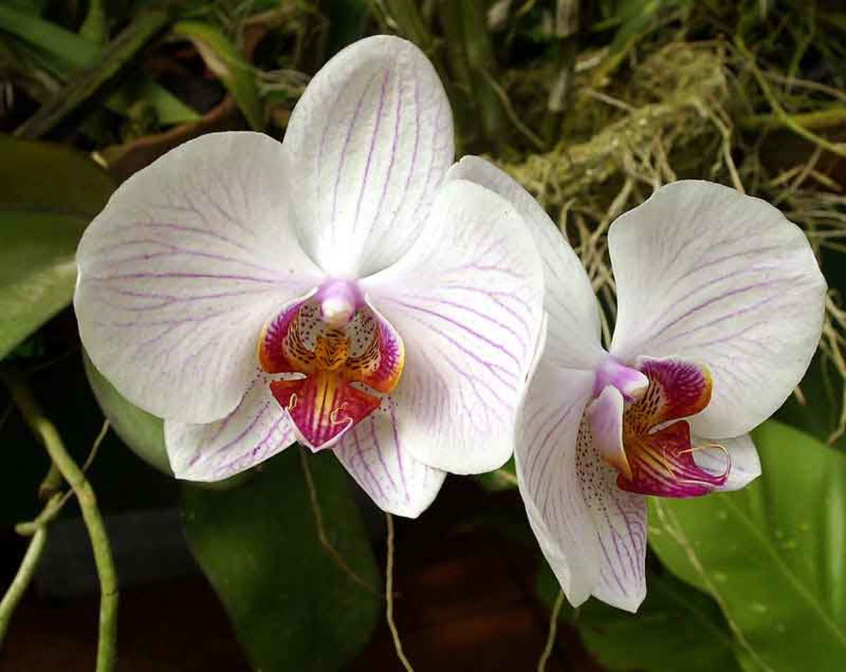 Orchids are in Feng Shui flowers of good luck