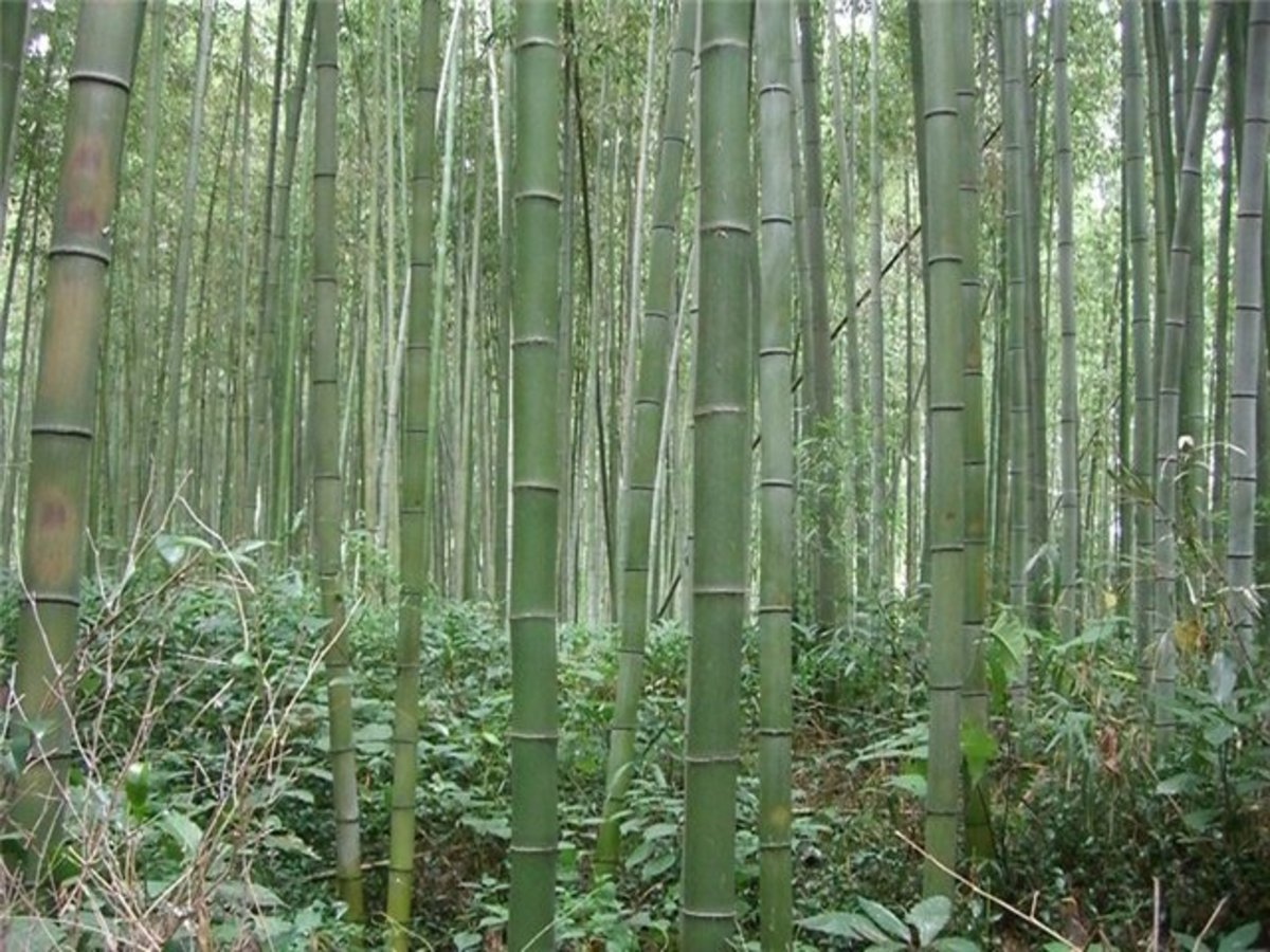 Bamboo groves in Japan