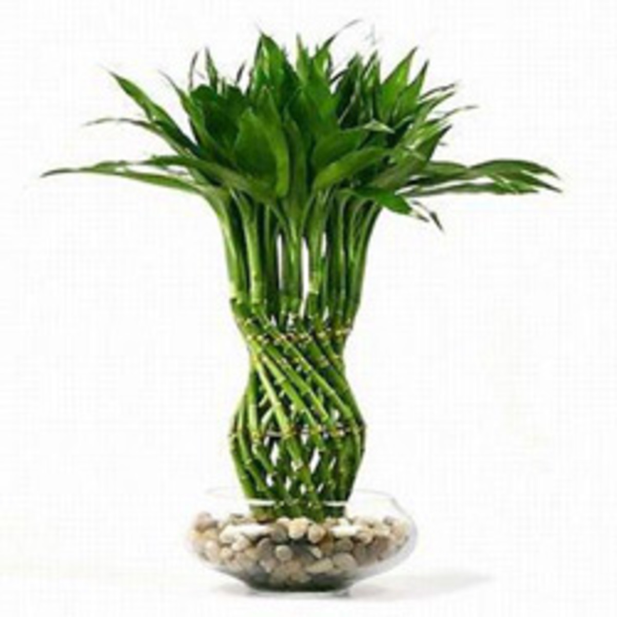 Lucky Bamboo plant – the symbol of good luck