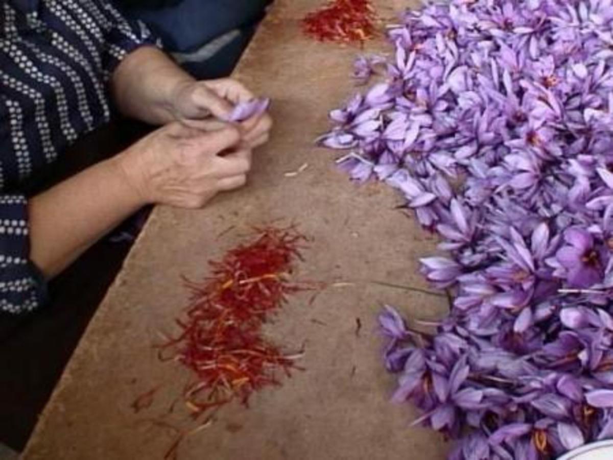 separating the saffron from the crocus flowers is a laborious task which must be done by hand