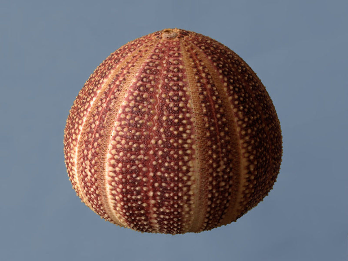 Typical sea urchin found along the beaches of Naples, Florida