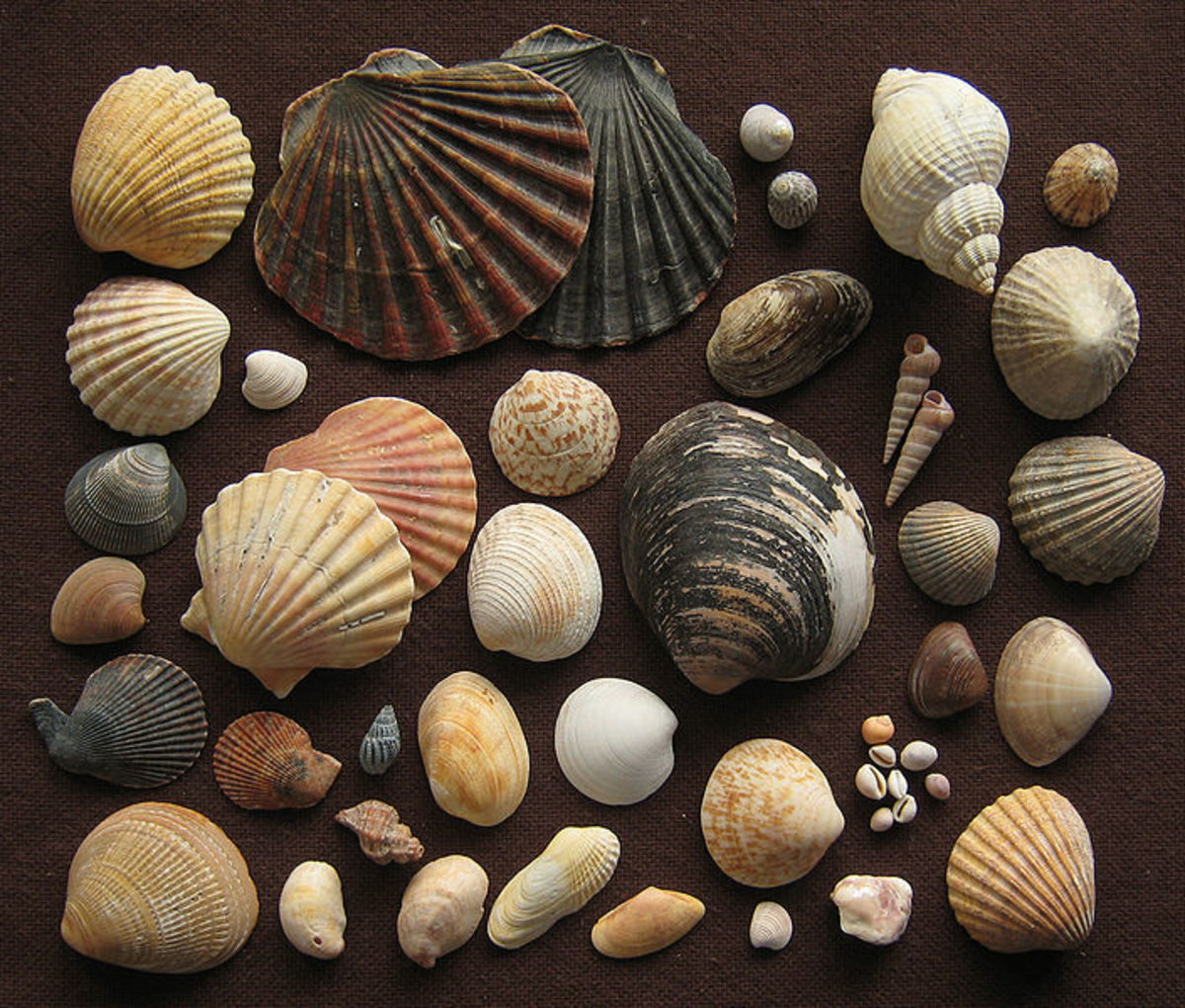 Types of seashells found along the beaches of Naples, Florida.