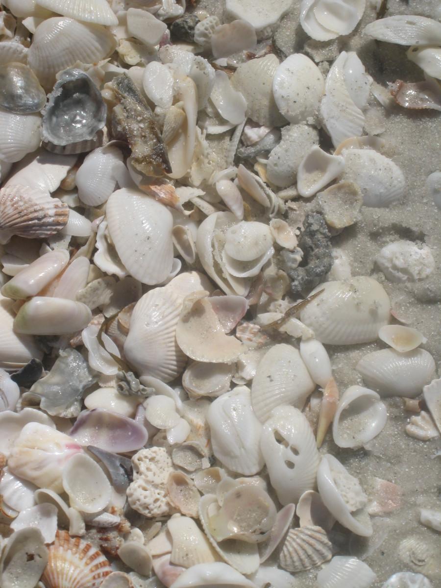Shells from Naples, FL beach.
