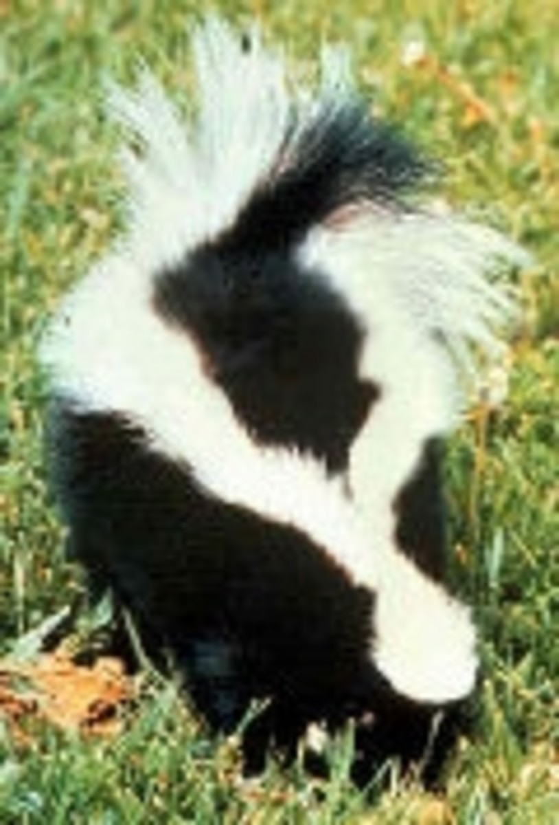 How Did Your Pet Get Skunked? (Public Domain Photo)