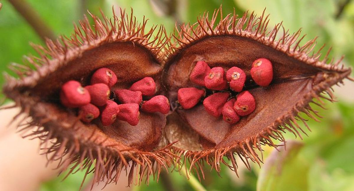 Recipe for How to Make Annatto or Achiote Oil, Includes Replacement and Substitute