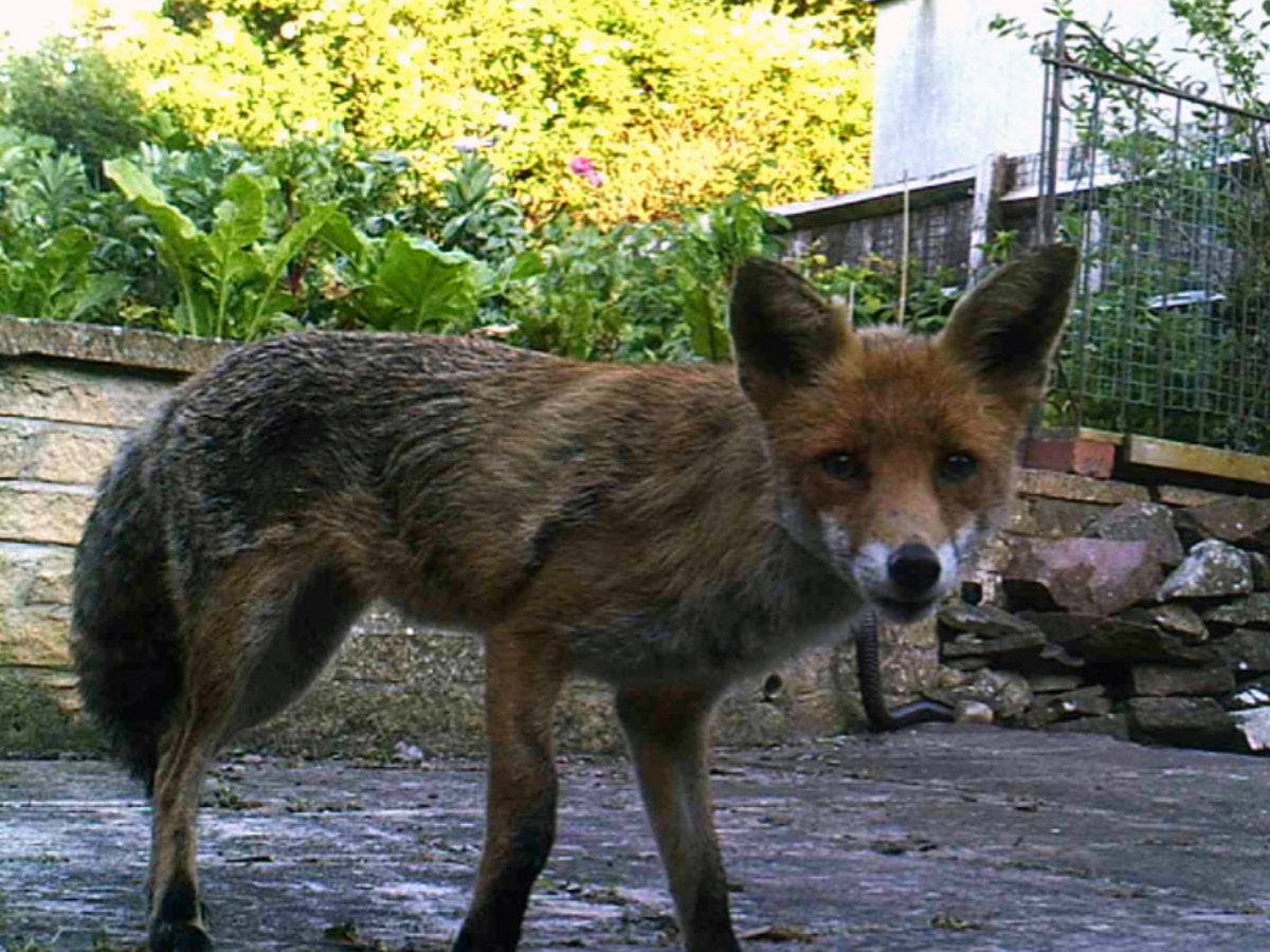 Urban fox in our back garden