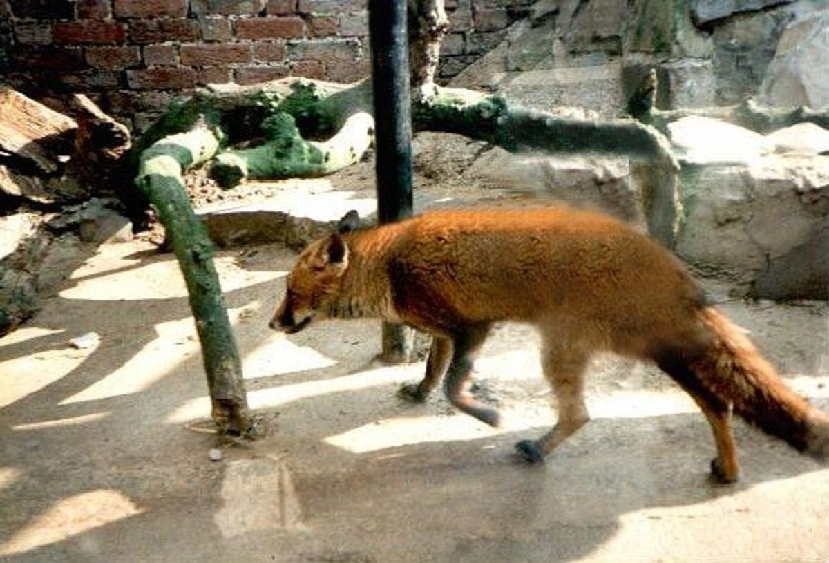 British Fox at 'Secret World' animal sanctuary in Devon.