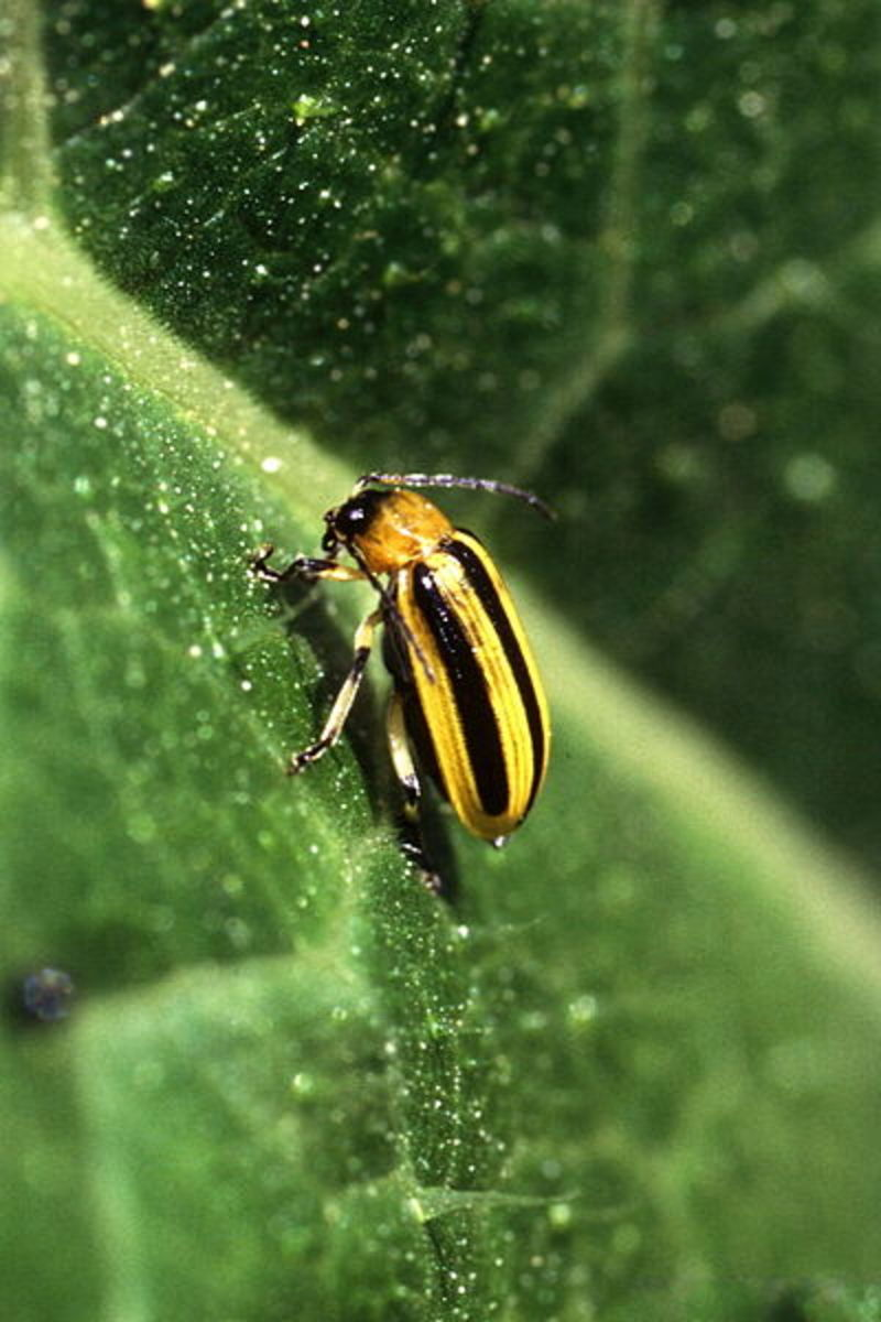 Striped cucumber beetles will destroy your watermelon patch given the chance.
