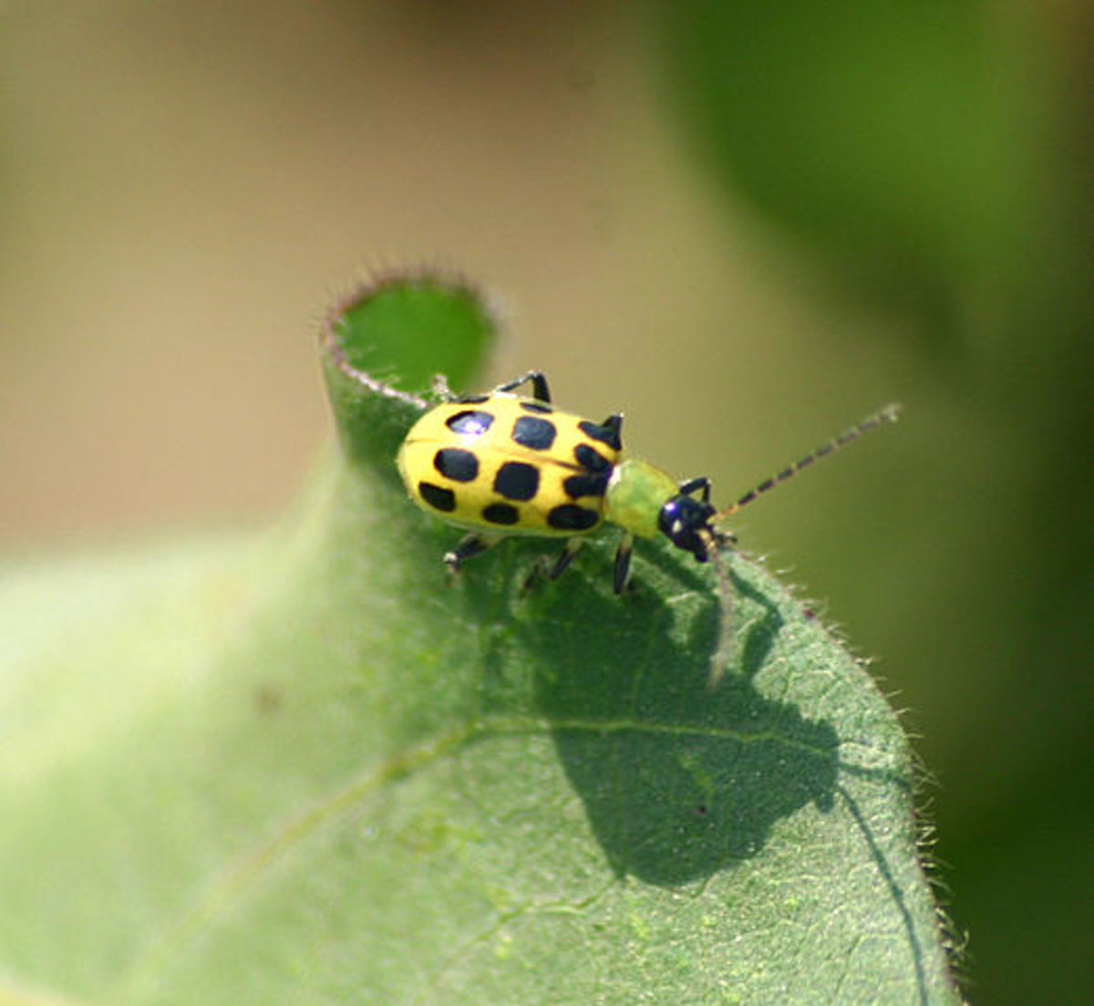 Spotted cucumber beetles are vicious insect predators in watermelon patches.