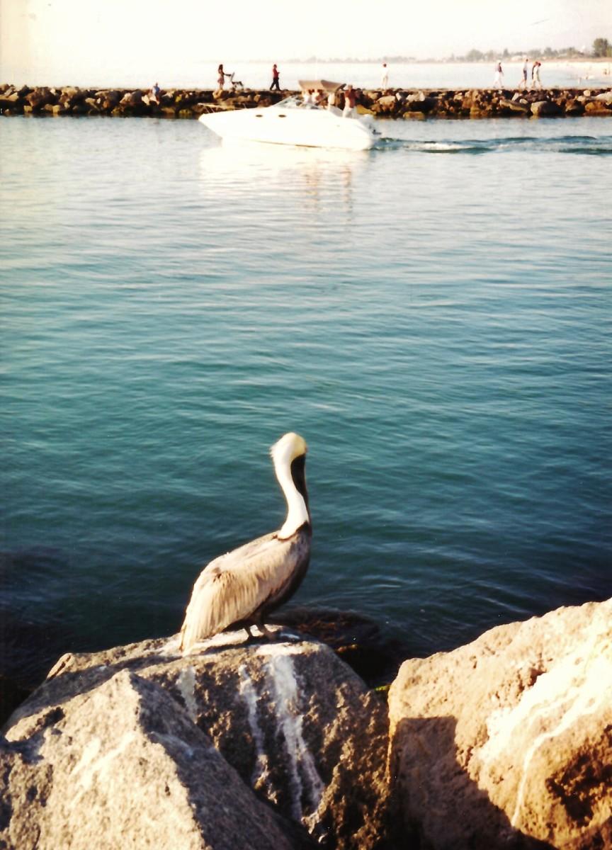 Pelican seen roosting on jetty rocks in Sarasota, Florida.