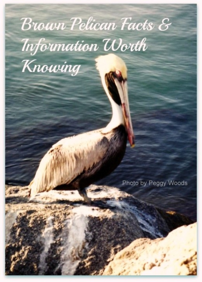Brown pelican on jetty in Florida
