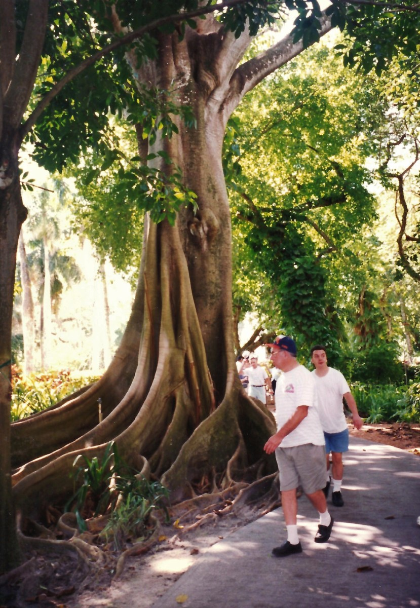 People walking around one of the Moreton Bay Fig trees in Edison gardens - Fort Myers, Florida.