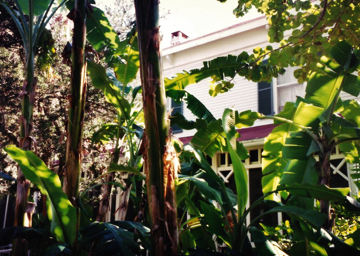 View of Edison home through the tropical foliage