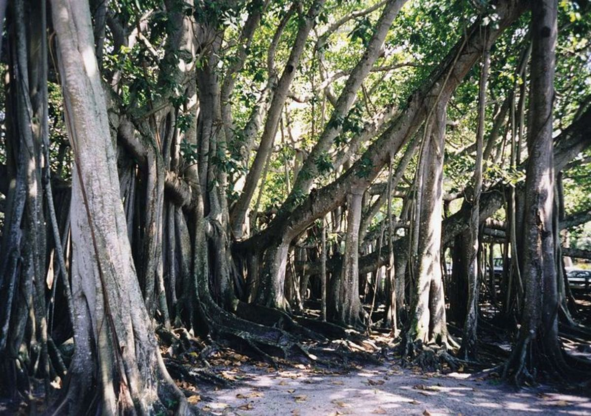 Banyan tree in front of the Edison Museum in Fort Myers, Florida