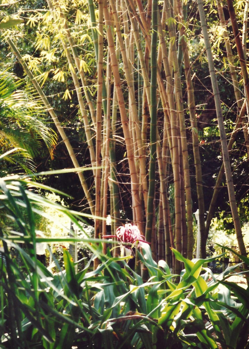 Bamboo on the Edison winter estate in Florida