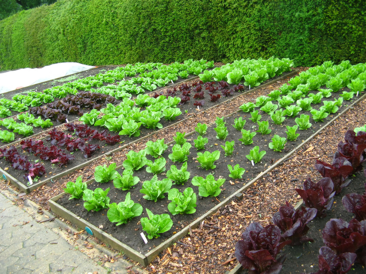 No-Dig Raised Beds With Paths Are Ideal For Vegetables.
