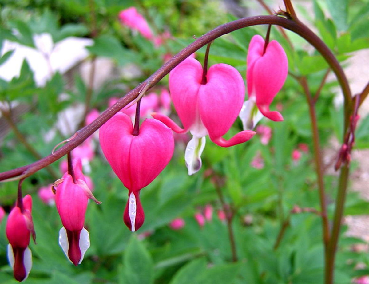 It's easy to see where Bleeding Heart gets its name from!