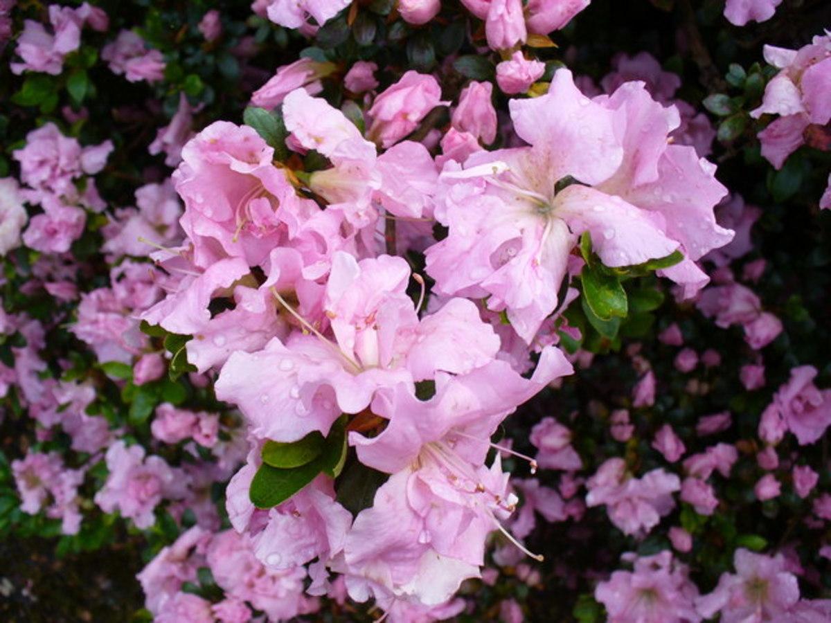 Azaleas produce an abundance of flowers.
