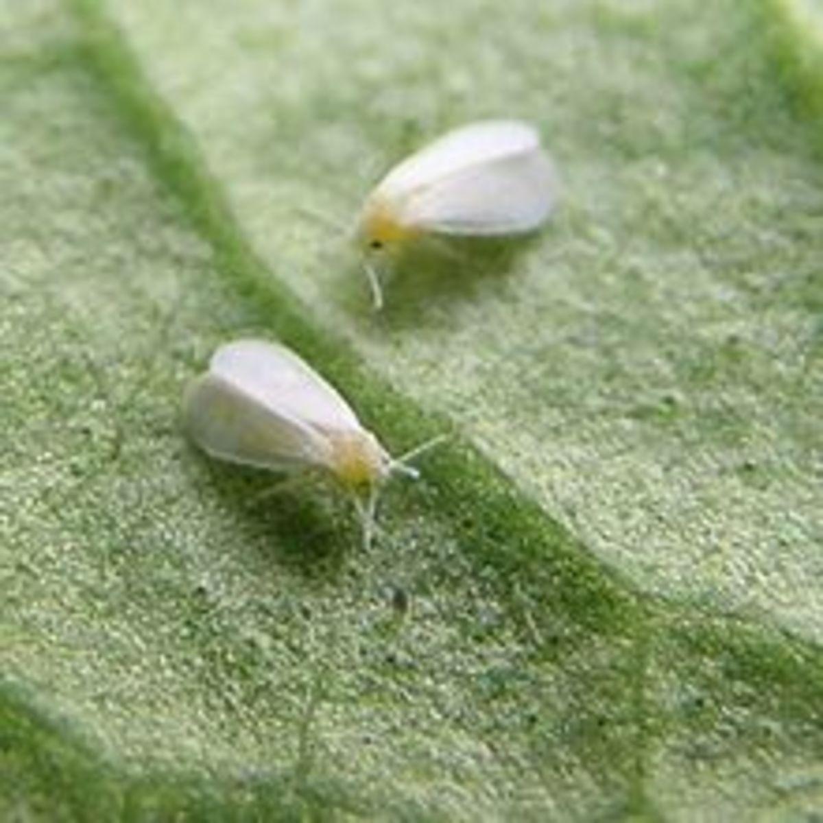 rid-your-garden-of-white-flies