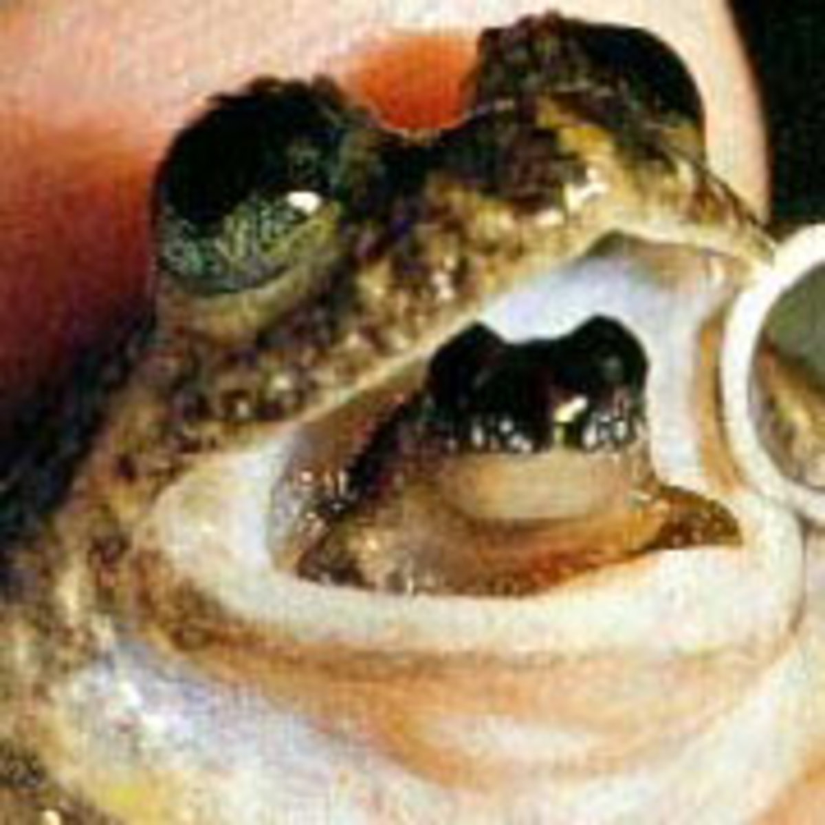 Darwin frog and his baby