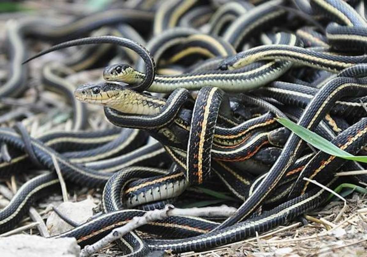 """A """"mating ball"""" of garter snakes"""