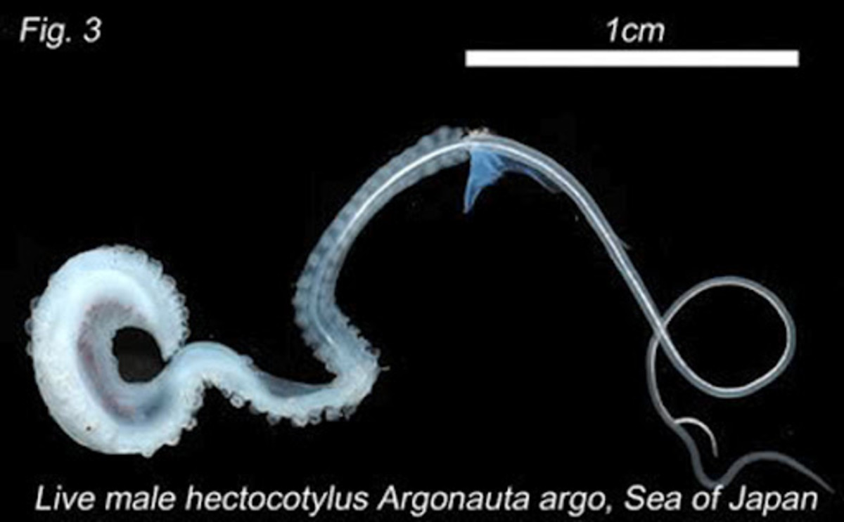 An Argonaut's detached penis arm