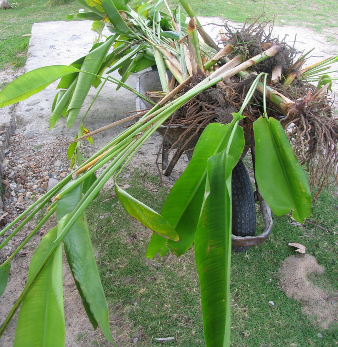 Heliconia with roots