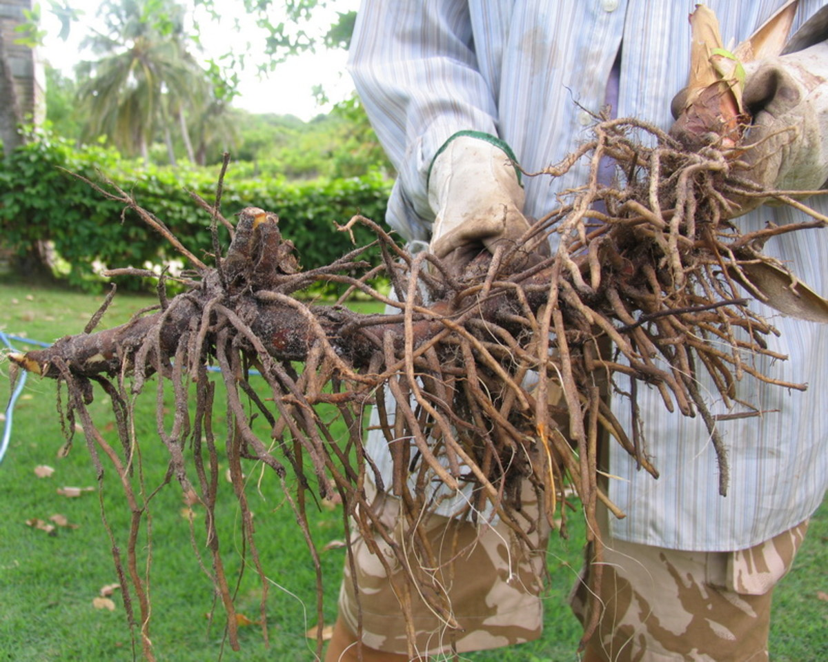 Heliconia roots