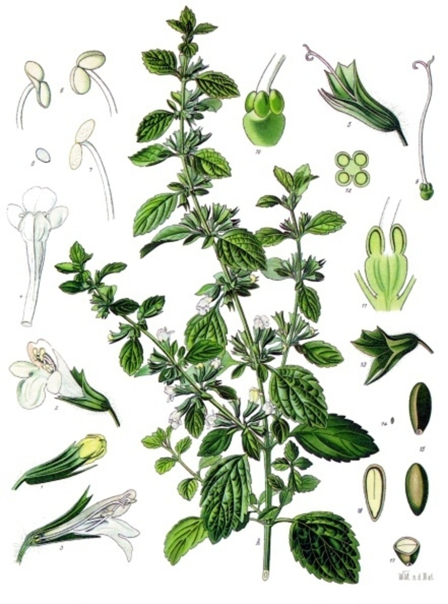 Lemon Balm (Melissa officinalis) illustration. In Public Domain because copyright expired.