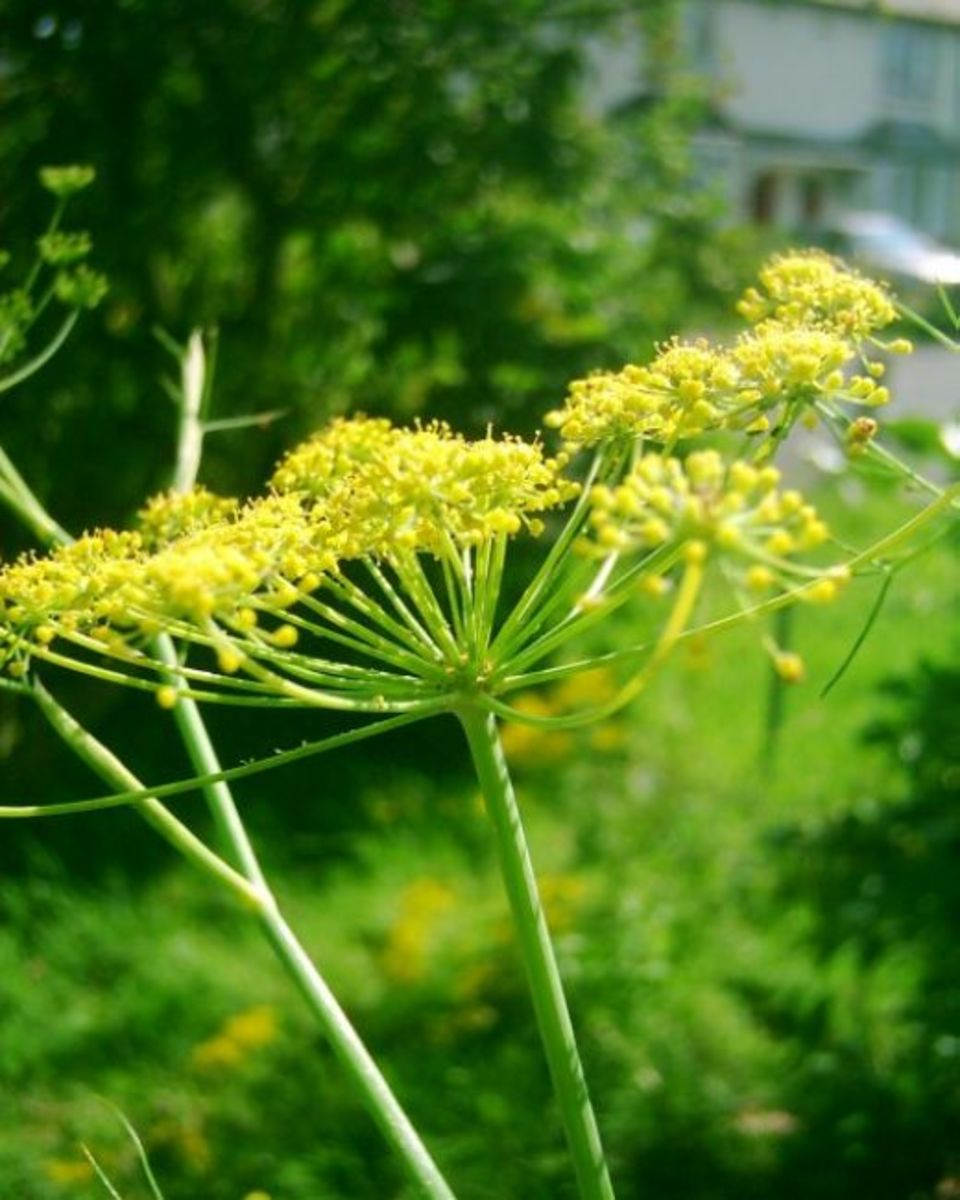 Fennel flowers. Photo by Steve Andrews