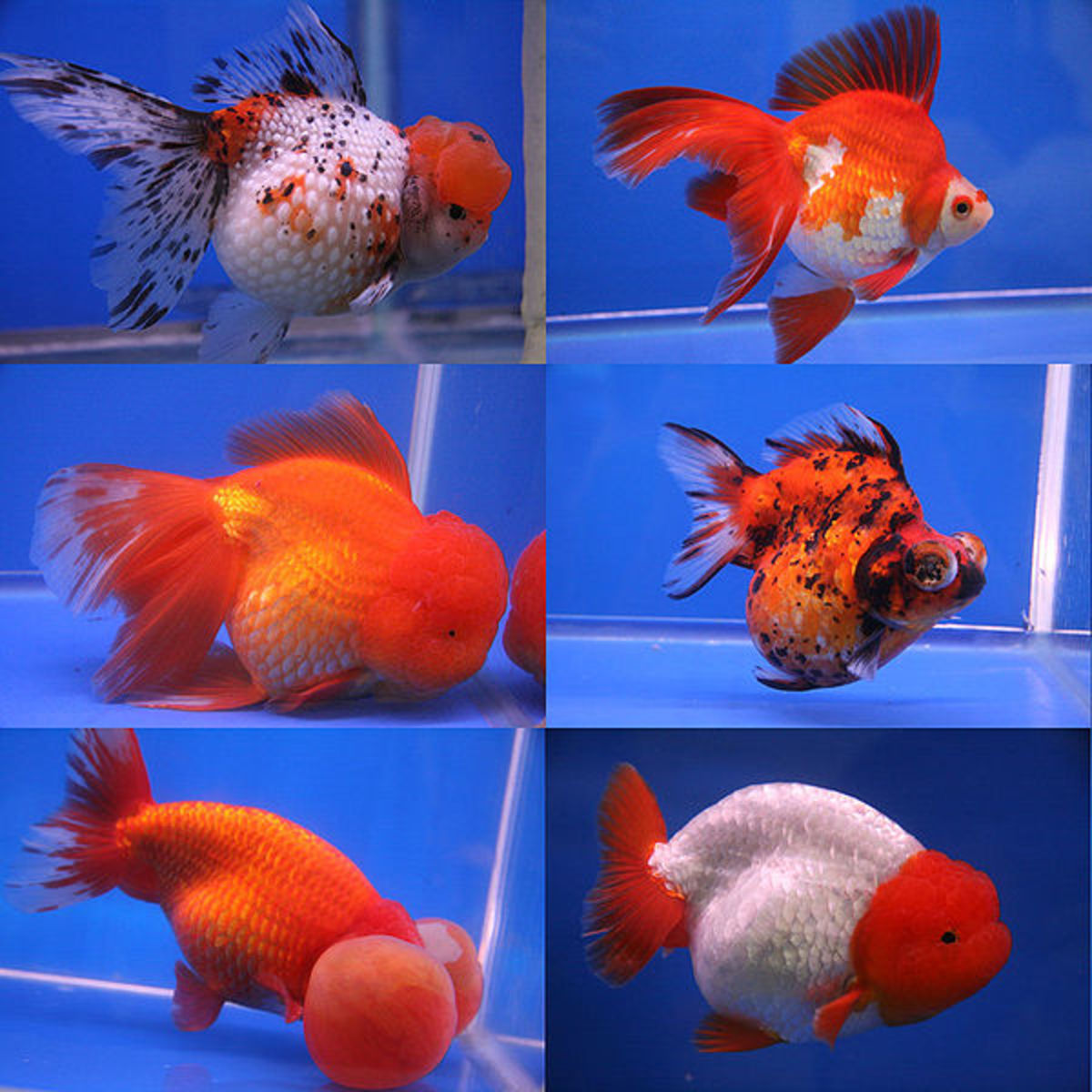 Facts and Information on Goldfish