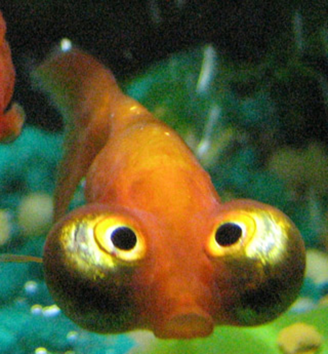 facts-and-information-on-goldfish
