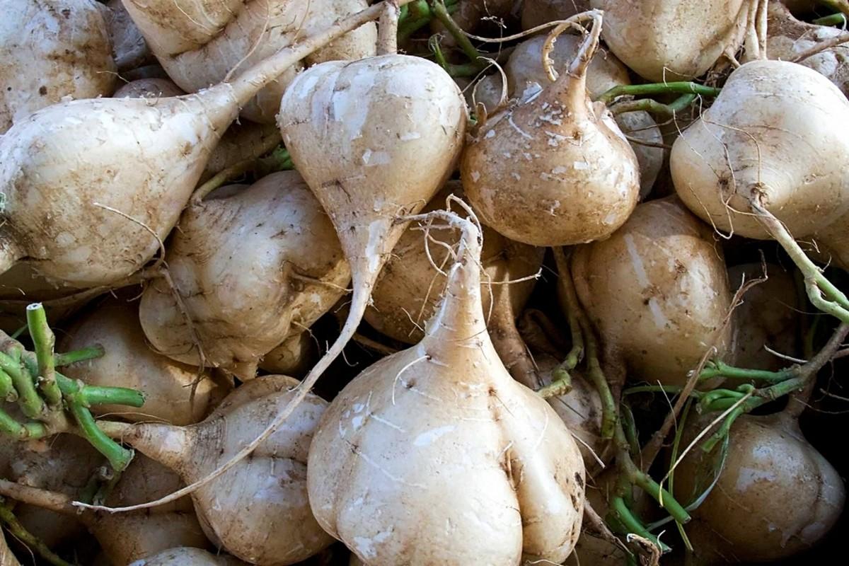 Jicama - Main Ingredient in Lumpiang Sariwa