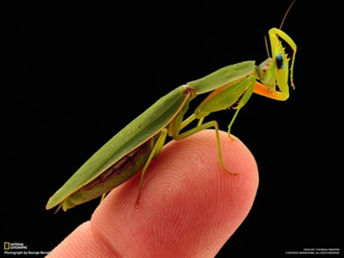 Praying mantis on a thumb