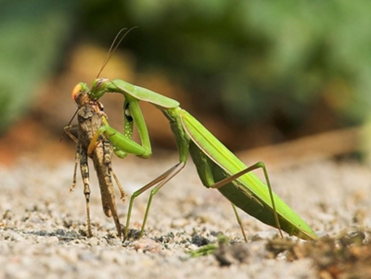 Praying mantis capturing a prey