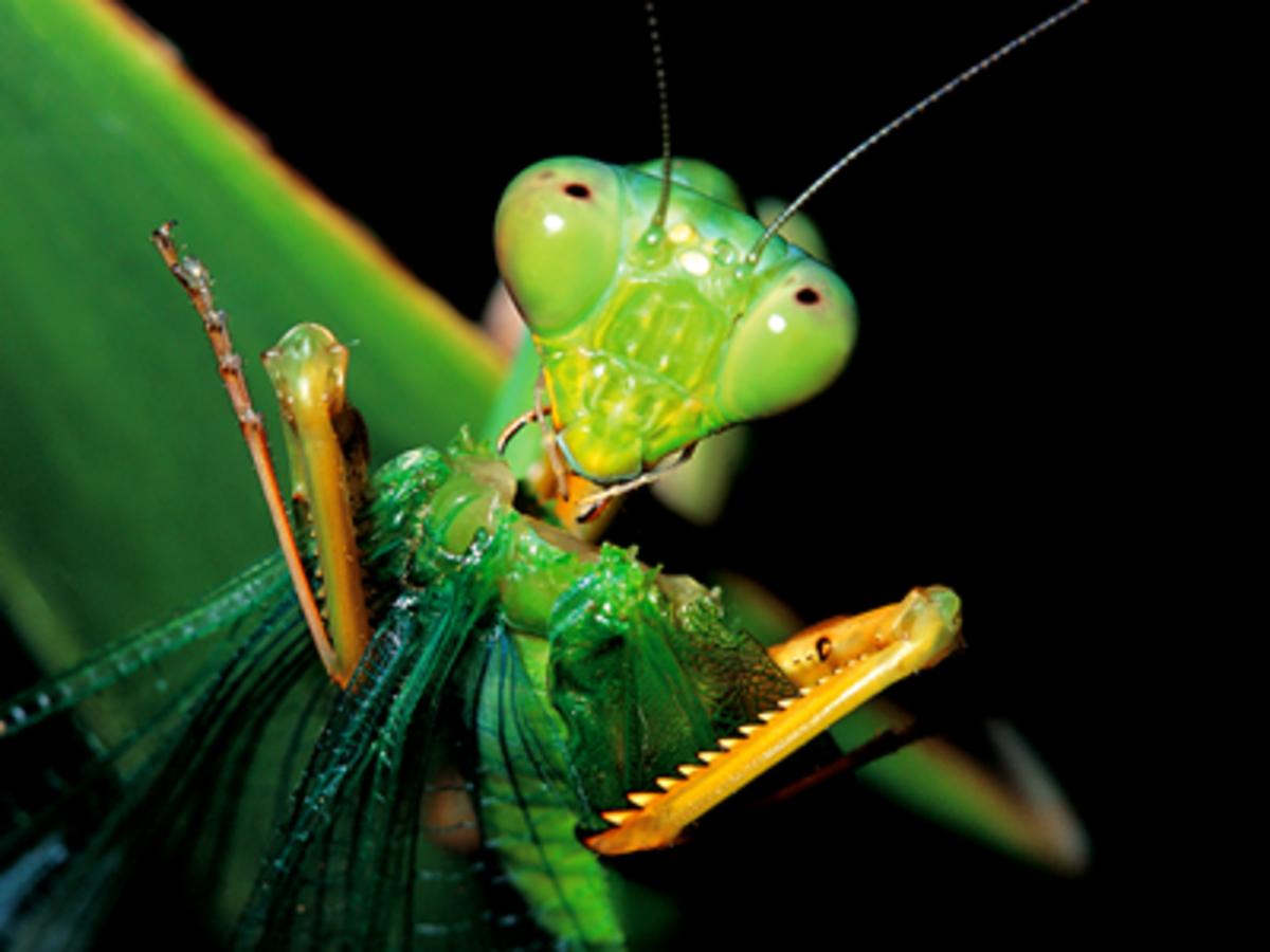 Praying mantis spiky fore legs