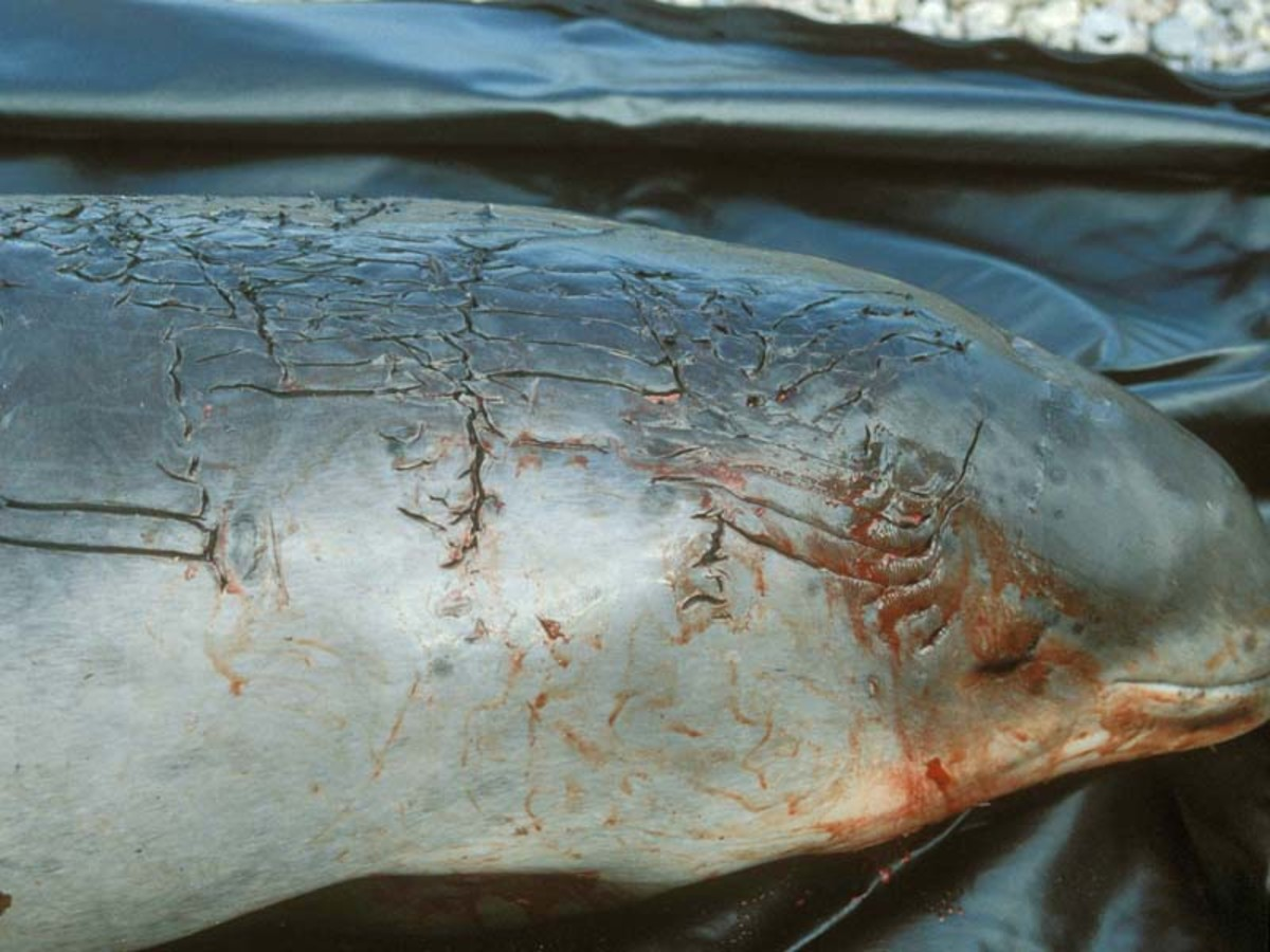 Dead porpoise with rake marks made by you know who.