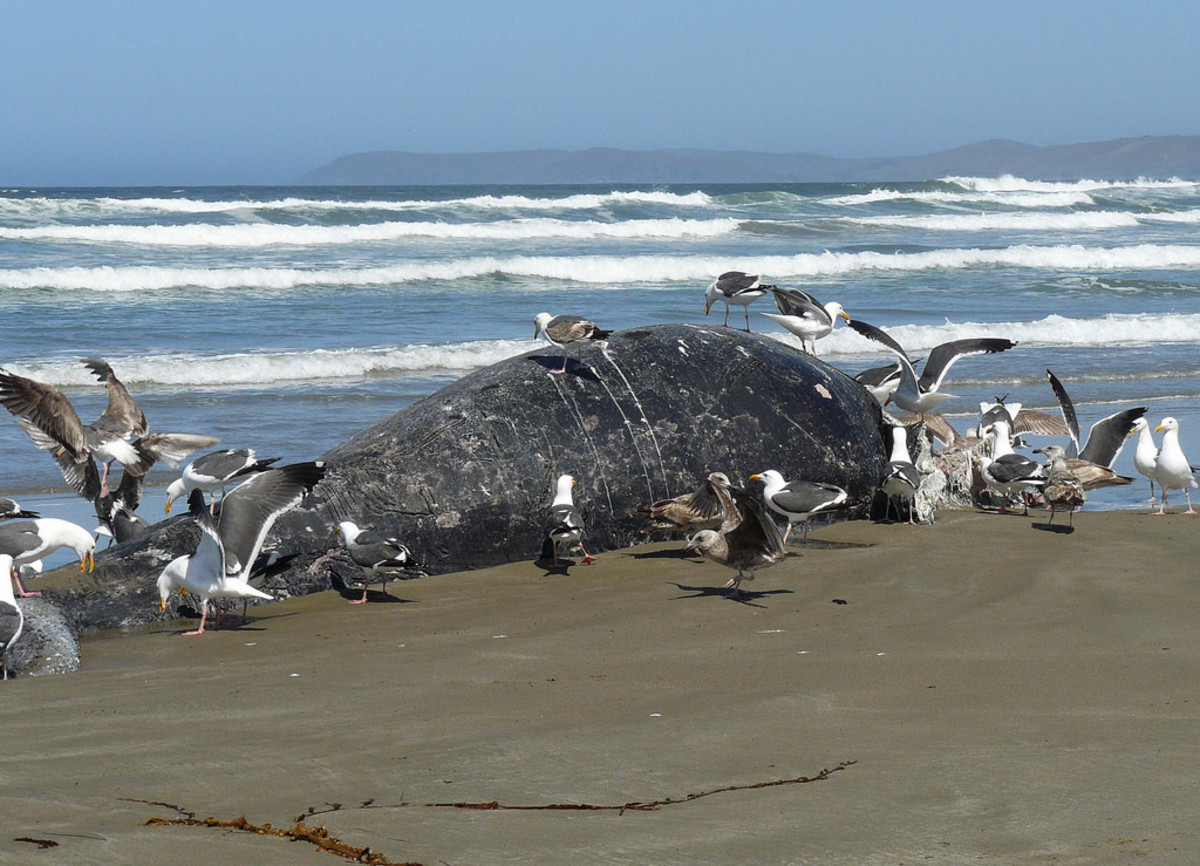 Gray Whale Calf Killed by Orcas. Note the rake marks.