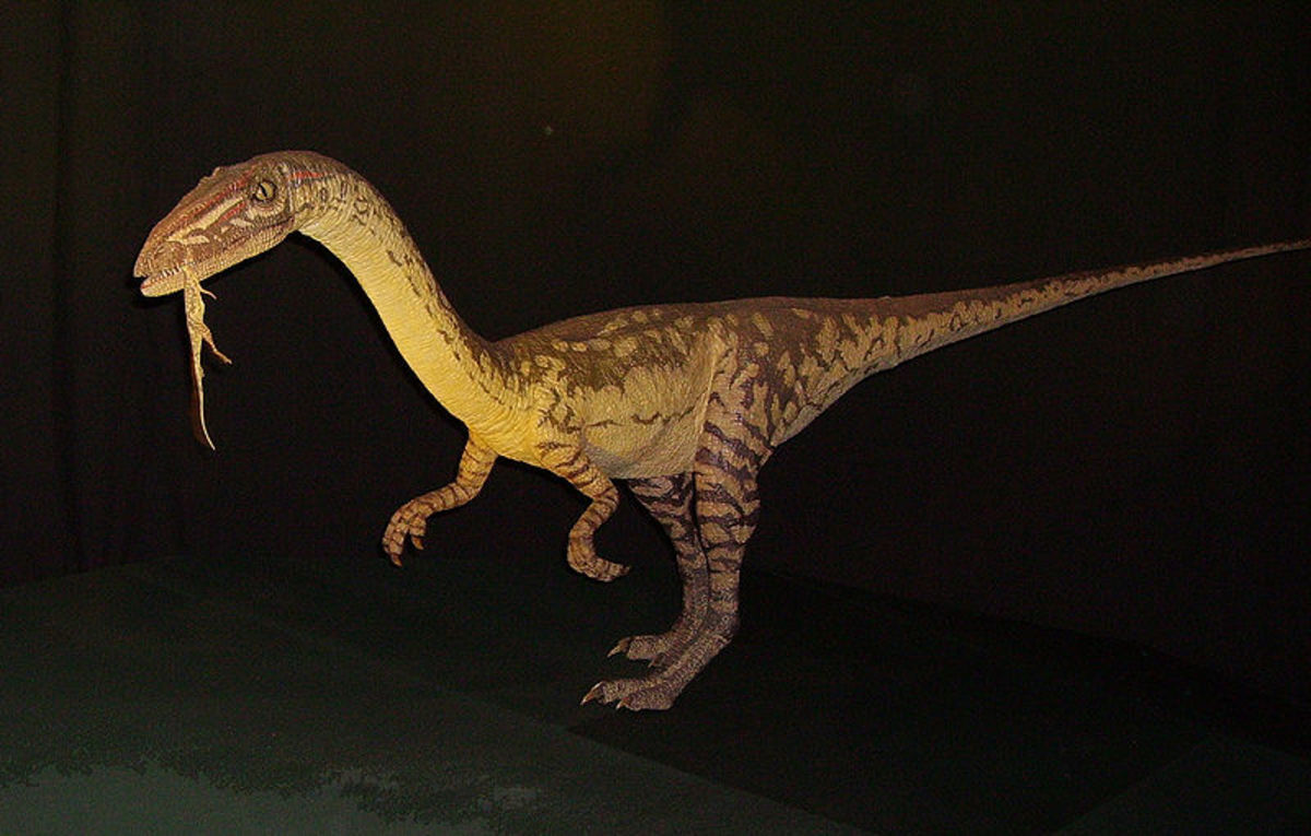 Coelophysis was one of the first dinosaurs and markedly different from other reptiles by being able to stand on two legs and move remarkably fast.