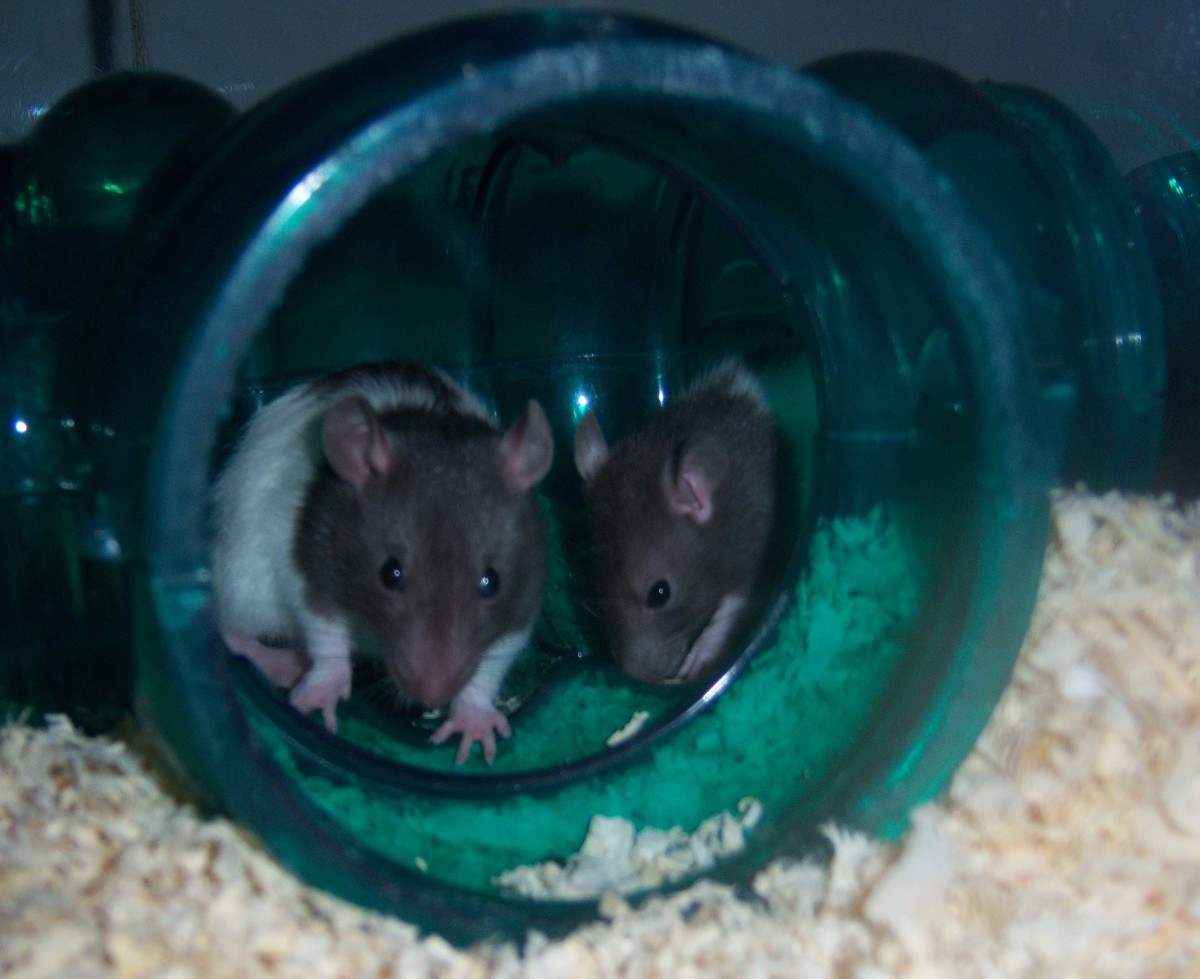 Our two new rats, hunkered down in their tube.