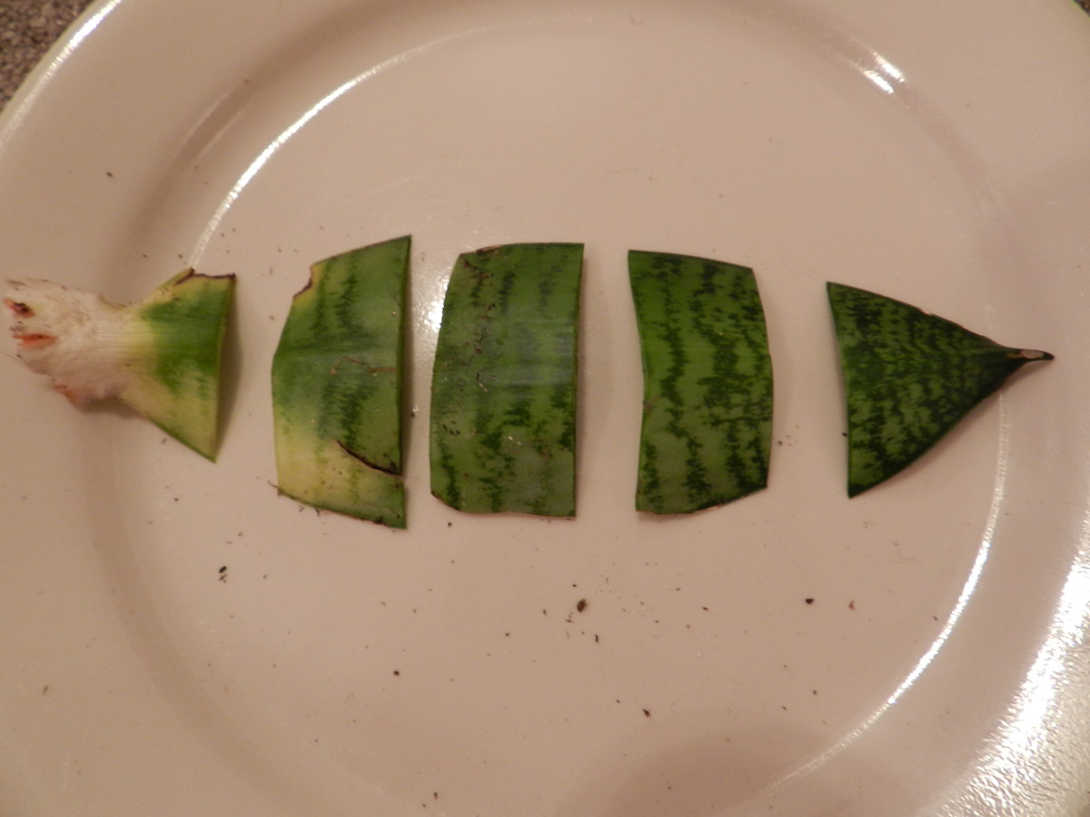 Several cuttings taken from a single leaf blade