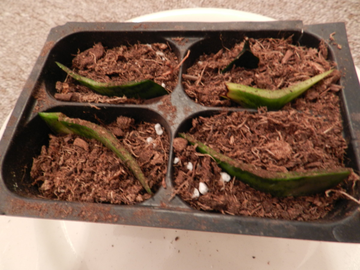 Cuttings in a sphagnum, perlite, and potting soil mix