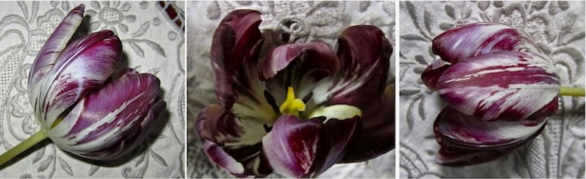 """Heirloom """"Broken"""" Tulips © CJS 2011-15."""