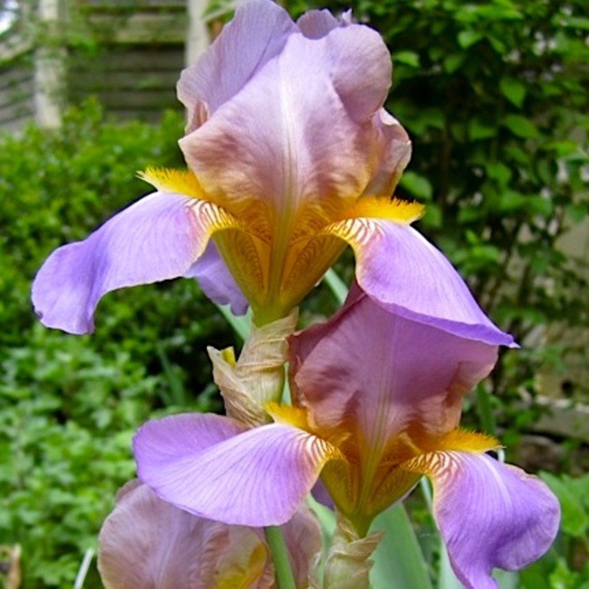 Quaker Lady: a bearded iris from 1909