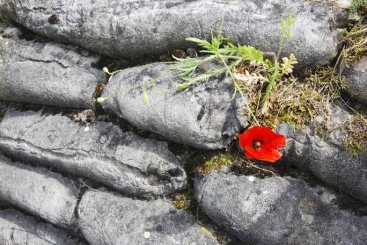 Red Poppy in the trenches of death